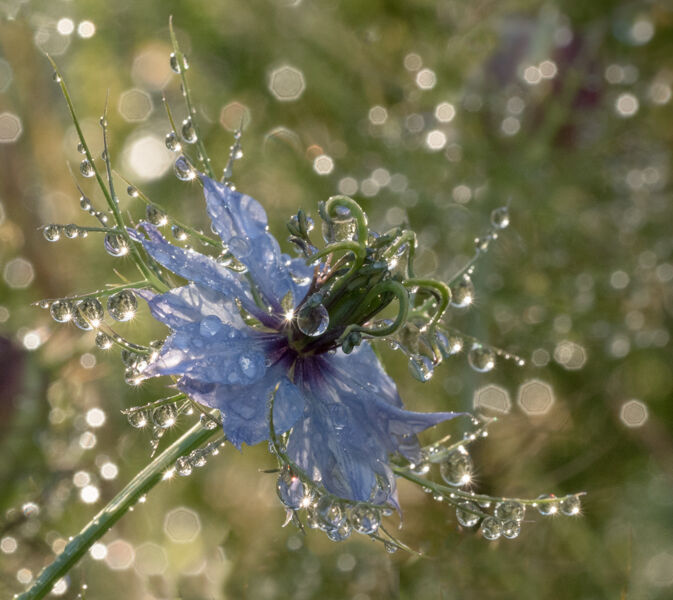 Love-in-a-mist Flower after rain by Mary Bevis