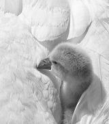 Mute Swan baby with Mum by Alan Bevis
