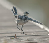 Pied Wagtail by Phil Harris
