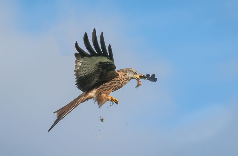 Red Kite with Food