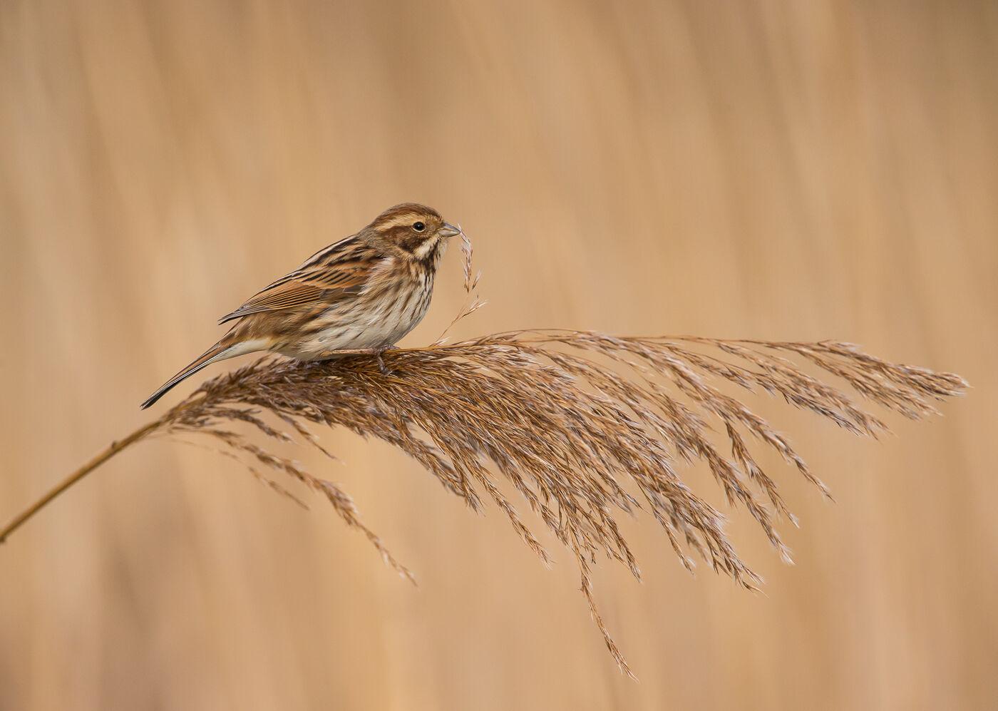 Reed Bunting Feeding