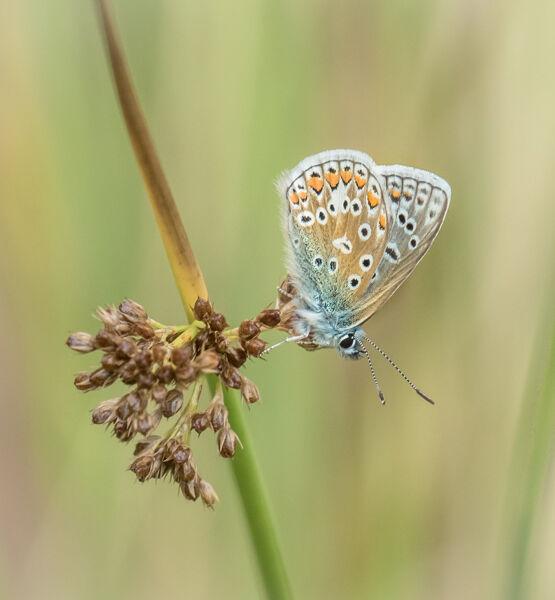 Resting common blue