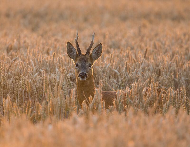 Roe buck in the wheat