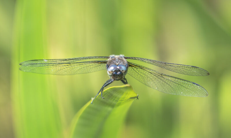 Scarce Chaser Dragonfly by Alan Bevis