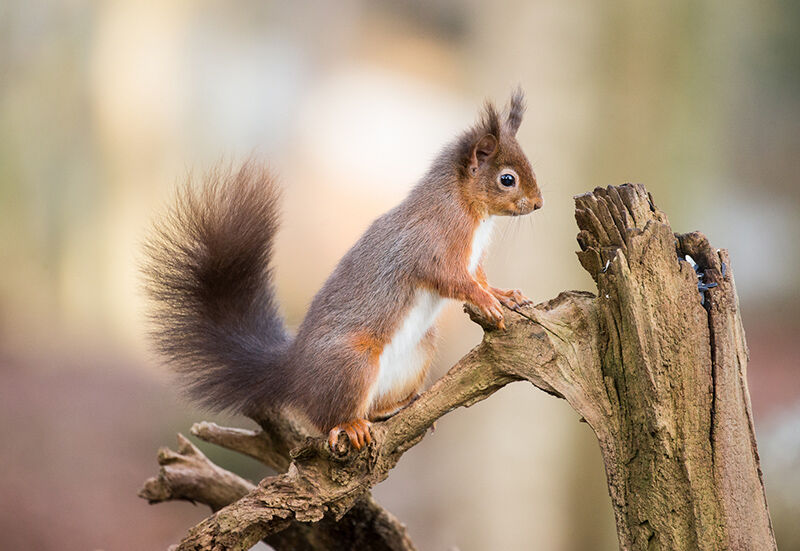 Searching Red squirrel