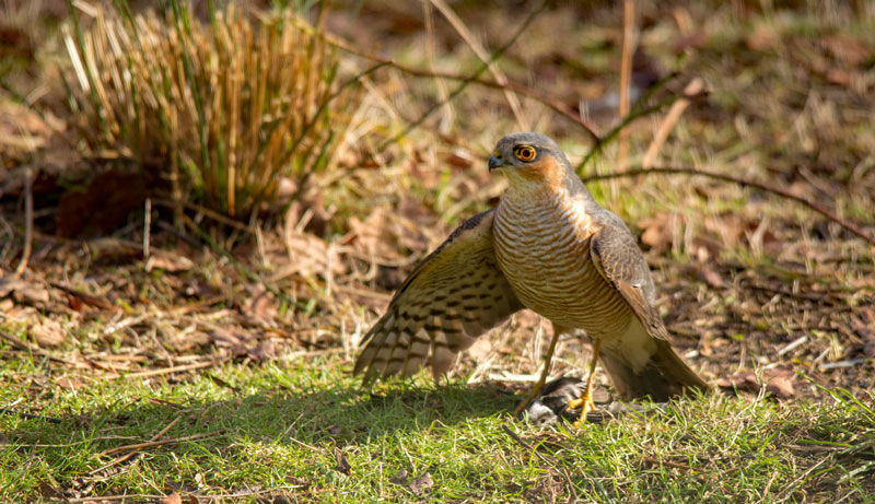 Sparrowhawk-with-Long-tailed-Tit Frank-Devine