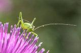Speckled Bush Cricket by Alan Bevis