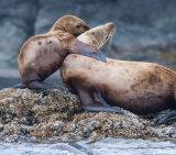 Stellers Sea Lion