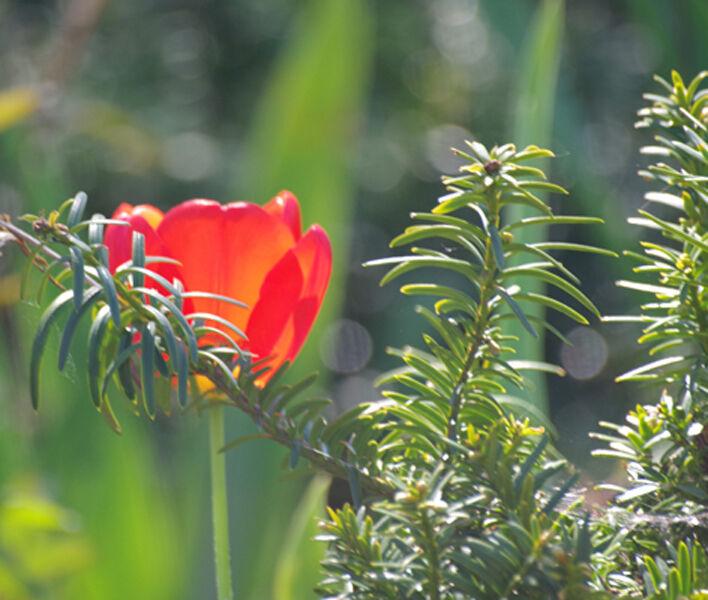Sun lit Tulip