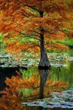 Tree Lillies
