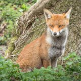 Vixen at Arne by Alan Bevis