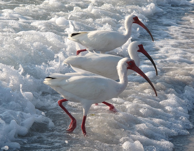 White Ibis in the surf