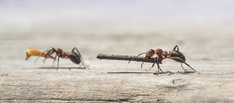 Woodants with Nest material - Alan Bevis