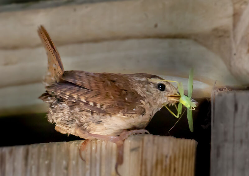 Wren with lunch