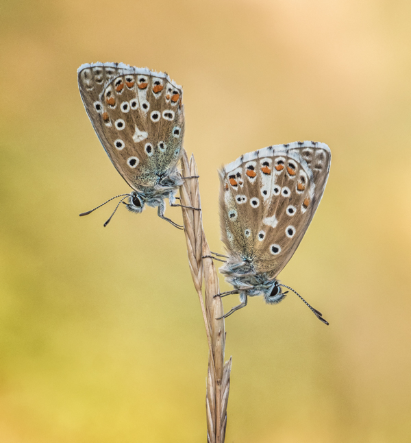 adonis blues 2 by mary bevis
