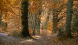 autumn beeches by mary bevis