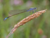 blue tailed damslefly by mary bevis