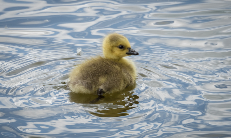 duckling by mary bevis