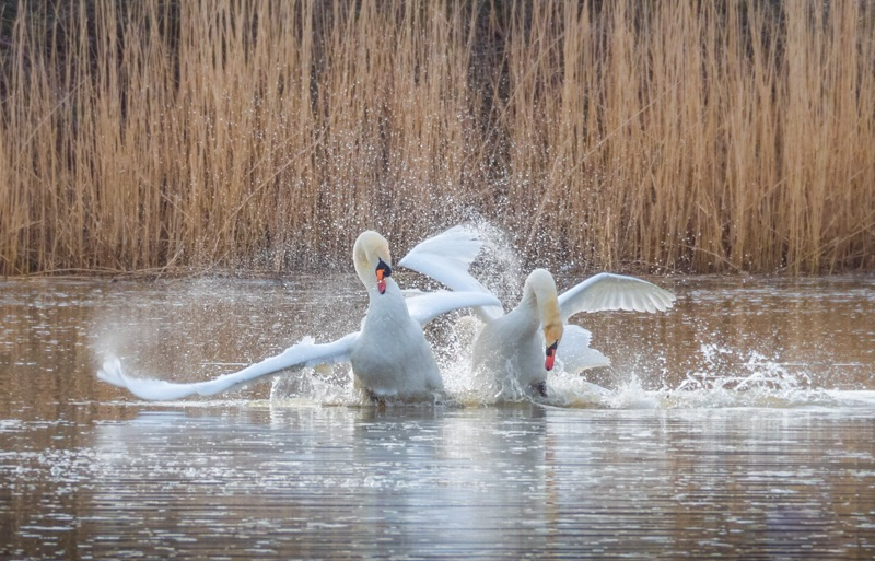 fighting swans by mary bevis