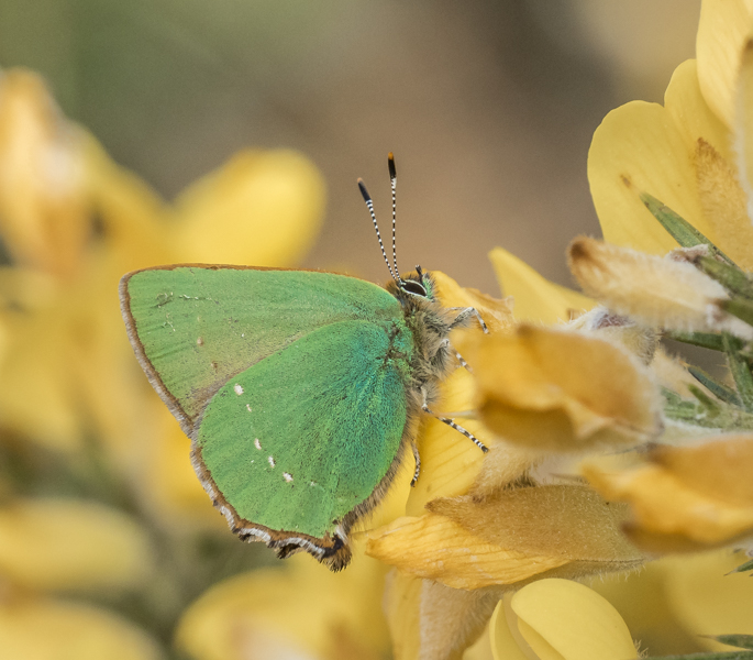 green hairstreak on gorse by mary bevis