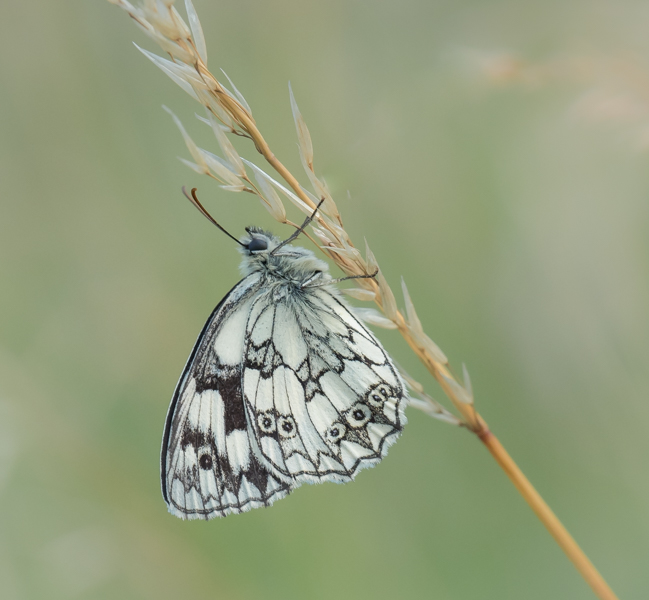 marbled white at dusk by mary bevis