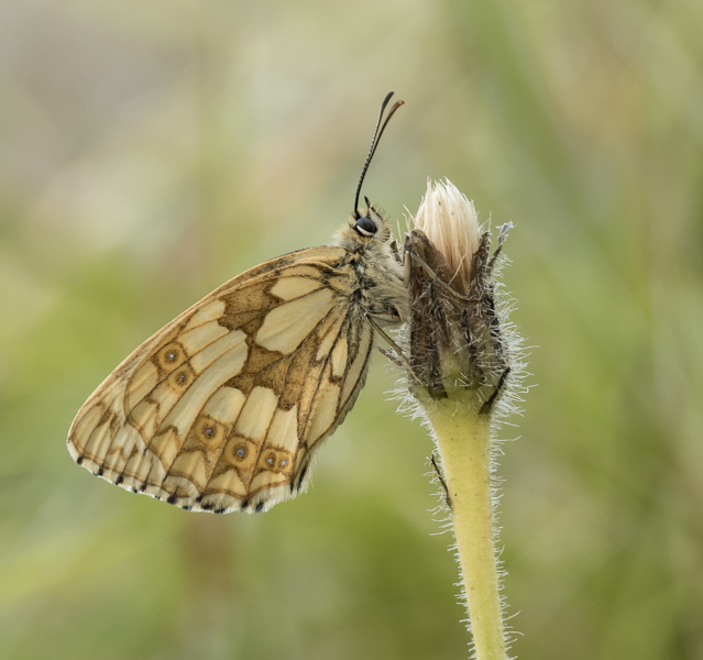 marbled white on hawkweed by mary bevis