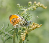 orange tip butterfly by mary bevis