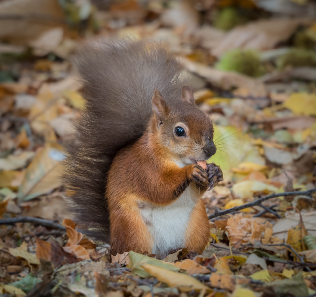 red squirrel by mary bevis