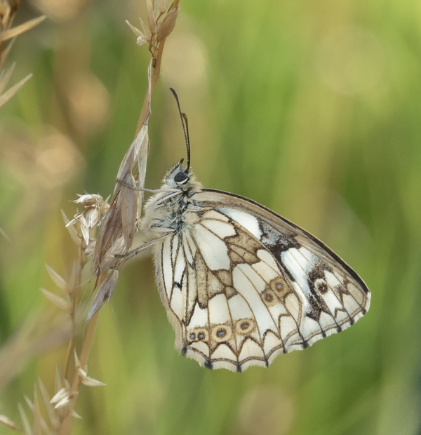 resting marbled white by mary bevis