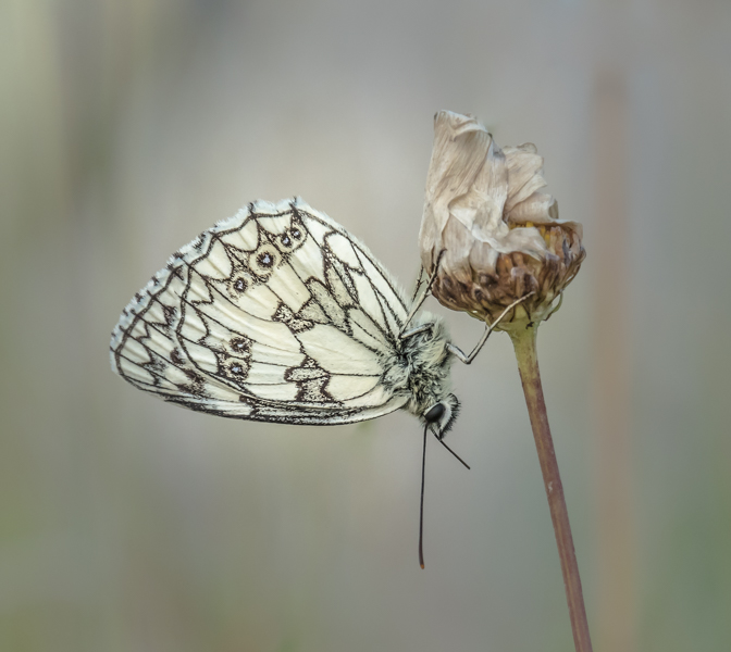 roosting marbled white on oxeye daisy