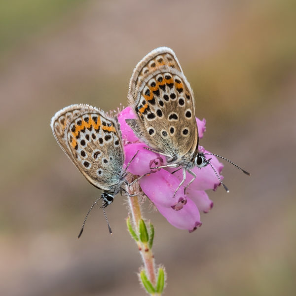 silver studded blues on heather