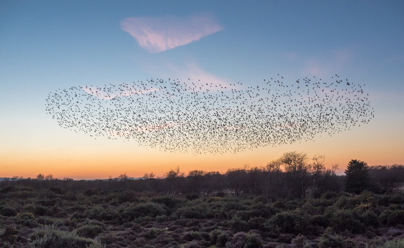 studland starling roost by mary bevis
