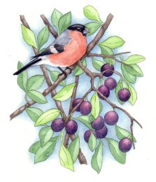 Bullfinch and damsons
