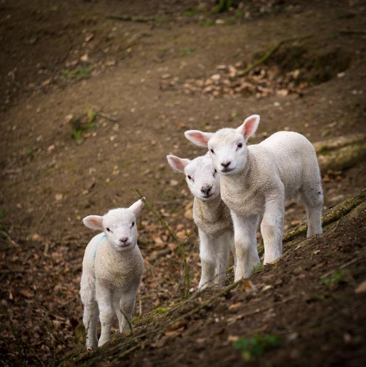 Savernake lambs