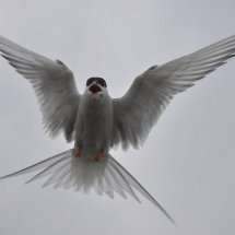2011.07.05 - Arctic Tern - Farne Islands