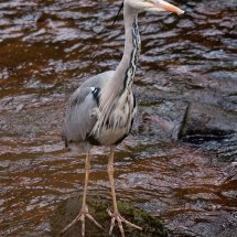 2012.04.28 - Heron - Hardcastle Crags