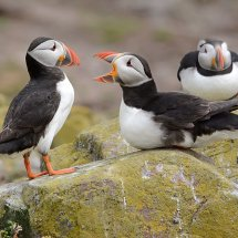 2014.06.28 - Puffin Squabble - Farne Islands