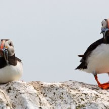 2014.06.28 - Puffins - Farne Islands