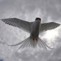 2014.06.28 - Arctic Tern - Farne Islands