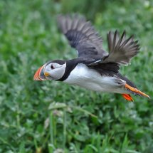 2014.06.28 - Puffin - Farne Islands