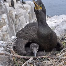 2014.06.28 - Shag & Chick - Farne Islands