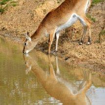2016.05.22 - Kafue Flats Lechwe - Yorkshire Wildlife Park