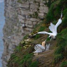 2016.04.17 - Gannets - Bempton Cliffs