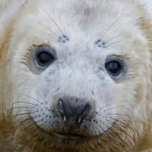 2016.12.09 - Seal Pup - Donna Nook