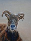 Sheep portrait - Linda Farrington