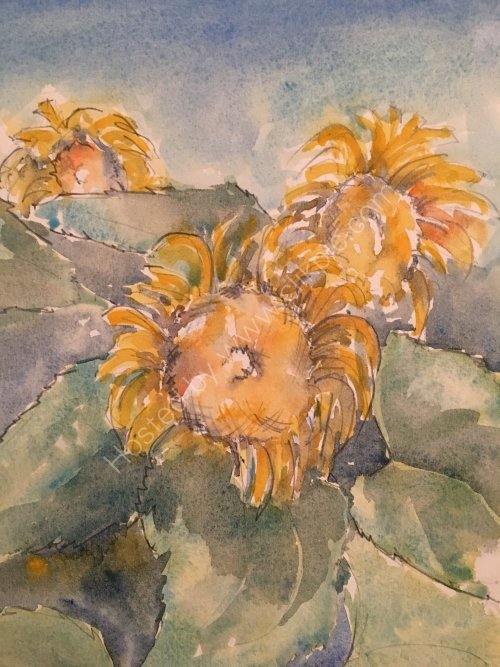 Sunflowers, near St Blaise du Buis, 2015