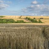 Wheat fields under sun and shade