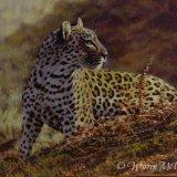 Late Light Leopard