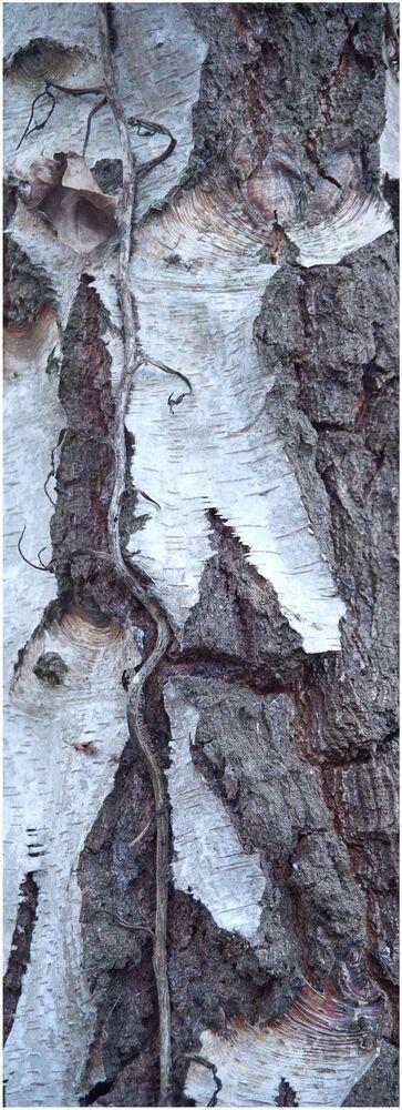 10. Silver Birch