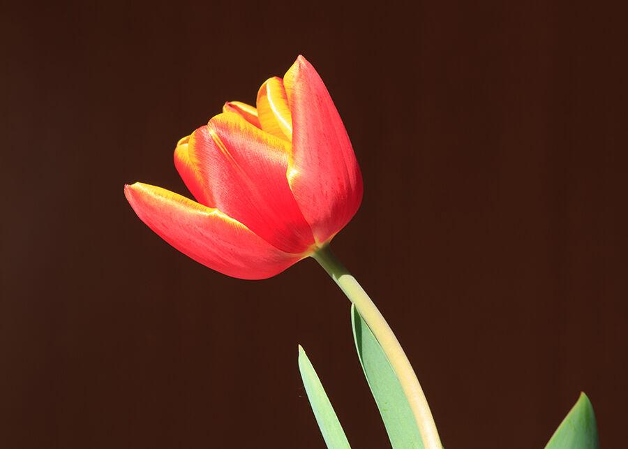 14. Tulip